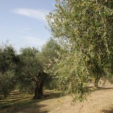 Ulivi Villa Piccinetti